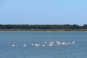 Flamants roses de Camargue © VF